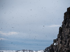 Crazy Bird Cliff (Craig Hemsath) Tags: snow nature norway lumix panasonic svalbard arctic micro g6 43 linblad 1235 expeditions mirrorless