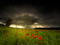Poppy Field (Richard Walker Photography) Tags: summer sky tree field rain clouds landscape dramatic stormy crop poppy poppies crops landscapephotography poppyfield