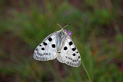 IMG_4412 (pappleany) Tags: falter schmetterling tagfalter parnassiusapollo ritterfalter roterapollo pappleany