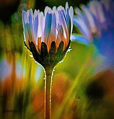 Daisy Days (Dianne Latimer) Tags: light sun flora daisy
