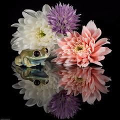 Flower Power (susie2778) Tags: olympus omdem5mii 60mmmacrof28 captive captivelight studio flash frog rubyeyedtreefrog flower reflections leptopeltisuluguruensis