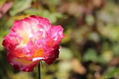 I.ROSE.M #Double Delight *FILOLI , Woodside, CA (idarosemarcantonioakai.rose.m.) Tags: ca pink red yellow fire double delight woodside filoli doubledelight