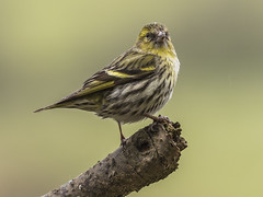 Siskin ( Female ) (Paul A West (www.pwest.me)) Tags: bird nature duck northumbria