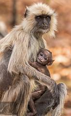 Bandhavgarh 026 (Black Stallion Photography) Tags: baby india white black fur photography grey monkey eyes wildlife sit primate stallion langur bandhavgarh igallopfree