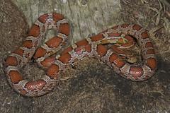 Red Rat Snake (Miami phase) Pantherophis guttatus (MyFWC Research) Tags: florida wildlife sightings amphibians survey snakes floridakeys reptiles herpetology fwc myfwc myfwccom