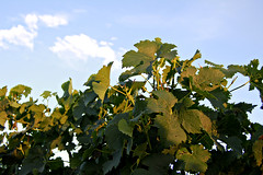 Sunlight on the Grape Leaves (Dawna Kay) Tags: summer green living vineyard country grapes lodicalifornia