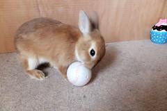 Ichigo san 234 ICHIGO san  (mensore) Tags: family pet brown cute bunny dwarf netherland ichigo   netherlanddwarf