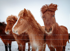 Fenced (Dan Fleury) Tags: travel horse colour field animals is iceland outdoor south adventure