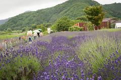 (lonerasser) Tags: japan mountfuji blomster lavendel cykeltur bideride