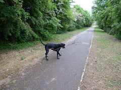 Dog vs stick (Lexie's Mum) Tags: dog nature walking countryside branch path stick footpath lester wak weddington