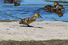 30 June 2016 (runningman1958) Tags: nature water duck nikon duckling 365 avian mallardduck rideauriver 365dayproject d7200 nikond7200