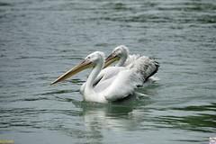 Parallelschwimmer (auschmid) Tags: schweiz tiere wasser paar bern pelikan tierpark spiegelung pelecanus sal70400g parallelitt slta99 auschmid