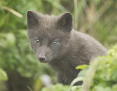 Alaska (richard.mcmanus.) Tags: alaska alaskanwildlife stpaulisland pribilofislands fox arcticfox animal mammal mcmanus