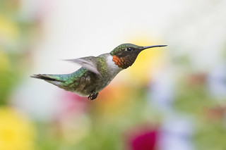 Ruby-throated Hummingbird Male