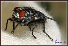 Moschino (Miltogramma, M. taeniata) (michelangelo11) Tags: sardegna nature nikon sardinia insects natura insetti barbagia gennargentu desulo