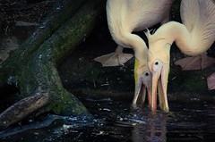 Pelicans filtering (elizunseelie) Tags: pink wild food lake tree bird pelicans nature water birds animal animals photoshop zoo scotland bill edinburgh day glow close feeding pentax wildlife duo pair beak roots pelican express dslr tamron k5 lightroom filtering