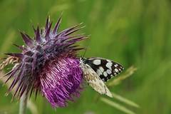 Melanargia galathea (Hugo von Schreck) Tags: macro butterfly insect outdoor makro insekt schmetterling melanargiagalathea onlythebestofnature tamron28300mmf3563divcpzda010 canoneos5dsr hugovonschreck