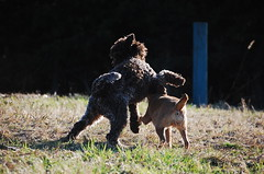 DSC_0067 (juliapee) Tags: dogs spring borderterrier dogsplaying lagotto romangolo