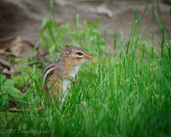 Chipmunk (MissTessmacher) Tags: animal rodent nikon chipmunk scottarboretum d90 70200f28vrii