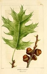 Anglų lietuvių žodynas. Žodis quercus velutina reiškia <li>Quercus velutina</li> lietuviškai.