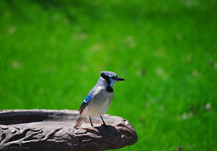 Blue Jay (Station Attendant) Tags: bird birdbath bluejay