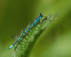 azure damselfly (Neptuno.Photography) Tags: azure damselfly
