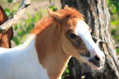 Assateague Pony foal