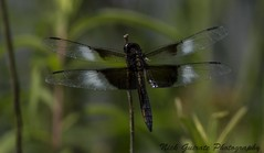 Widow Skimmer Male (paramaniac10) Tags: nature birds dragonflies butterflies toads insects bugs frogs amphibians raptors damselflies lizzards