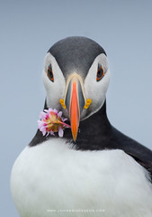 Atlantic puffin with