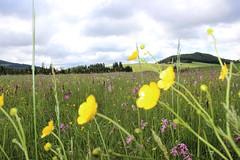 Almwiese im Sommer (Naturpark Almenland) Tags: teichalm orchideen naturpark almenland