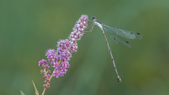 Damselfly on Steeplebush (Spiraea tomentosa) (ER Post) Tags: plant insect shrub damselfly damselflyspecies steeplebushspiraeatomentosa