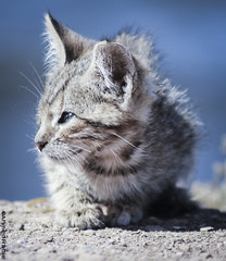 Cat Sitting (© Ahmed rabie) Tags: morning cute beach cat sad kitty away morocco lonely nador