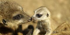 Erdmännchen (Michael Döring) Tags: zoo bismarck gelsenkirchen d800 erdmännchen meerkats zoomerlebniswelt michaeldöring afs300mm40d