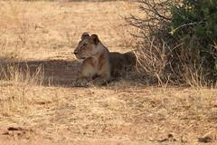 Female lion (apardavila) Tags: africa kenya wildlife lion safari samburu natgeo