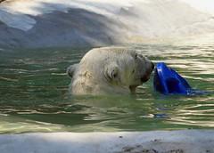 IMG_5837 (sandy richard) Tags: newyorkcity animals bears polarbear bronxzoo zoos animalsplaying sandyrichard sandrarichard