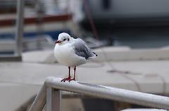 Thonon-les-Bains (Haute-Savoie) (sybarite48) Tags: france bird pssaro oiseau vogel pjaro uccello  ku ptak hautesavoie thononlesbains