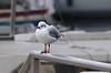 Thonon-les-Bains (Haute-Savoie) (sybarite48) Tags: france bird pássaro oiseau vogel pájaro uccello 鳥 kuş ptak hautesavoie thononlesbains птица πουλί طائر 禽流