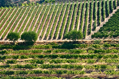 Different Shades of Wine (frans16611) Tags: world trees heritage portugal path terraces unesco arbres porto valley douro vignoble chemin wineyard mondial patrimoine vallée terrasses françoisphilipp
