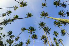 coconut tree and blue sky (sydeen) Tags: blue summer sky white fish plant tree green eye nature beautiful clouds lens scenery view natural coconut background country creative fresh palm fisheye tropical tall