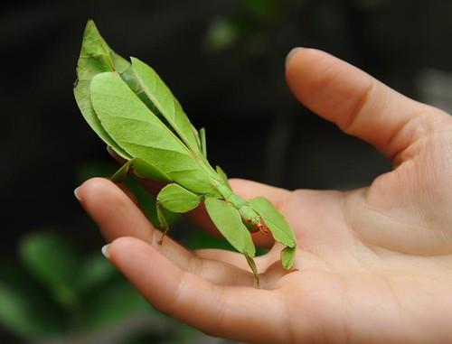 Fásmidos - Insecto hoja (Phyllium bioculatum)