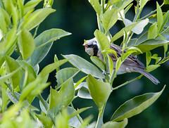 Gorrin (Passer domesticus) (Cristin Pinto) Tags: chile nikon aves pjaros pajaros region metropolitana cristian pinto domesticus passer gorrin gorrion ornitologia crisxyz d7000 crispinto