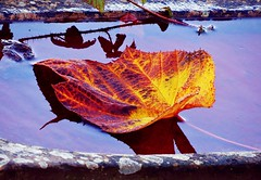 Sailing .... (Explore) (Sandalwood19) Tags: leaf sailing 4autumn phoeniximmortal gentleautumnbreeze