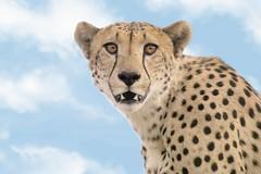 Wildlife art combo (Arno Meintjes Wildlife) Tags: wallpaper art wildlife cheetah combo acinonyxjubatus arnomeintjes