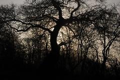 Eiche 1 (7) - an meinem Weg zum Bcker; Bergenhusen im November (Chironius) Tags: trees tree germany deutschland oak quercus rboles boom arbres rbol alemania ek albero bume allemagne arbre rvore baum trd germania eik carvalho schleswigholstein gegenlicht eiche ogie aa  roble pomie quercia  deutscheeiche fagaceae quercusrobur chne   mee niemcy rovere fagales rosids stieleiche bergenhusen    stapelholm buchengewchse pomienie buchenartige szlezwigholsztyn fabids