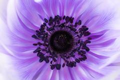 Anemone Swirl Colour (carlthompson921) Tags: white flower macro art closeup flora soft purple fineart petal lilac anemone stamen highkey delicate softlight 500px sigma50mmexdgmacro sonya77v