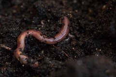 Worms (Dan Brekke) Tags: earthworms compost