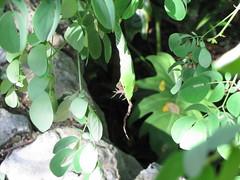 IMG_4615 (Charles70Street) Tags: snake lizard xcaret snakeeating snakeeatinglizard snakeswallowinglizard