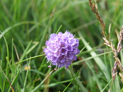 Scabious, West Harris - Matthew Smith