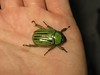 Chrysina gloriosa, Glorious Scarab (Birdernaturalist) Tags: arizona beetle coleoptera scarabaeidae rutelinae pinalmountains gilacounty rutelini
