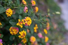 Lamma Island /  (kelvintkn) Tags: leica ltm plant flower colour digital hongkong 50mm asia sony fullframe manualfocus lammaisland screwmount primelens summitar mirrorless a7r leicasummitar sonyphotography emount
